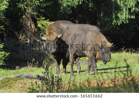European Bison herd in the fall, on a meadow. - stock photo