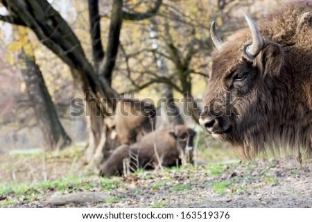 European bison or Wisent (Bison bonasus) graze in the wild. - stock photo