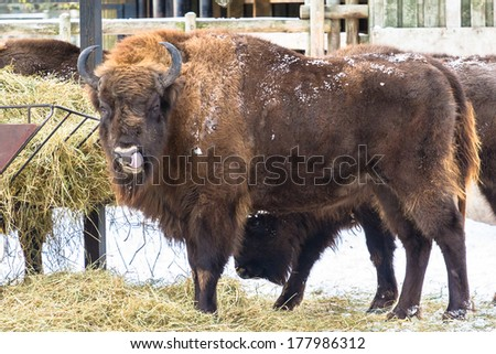 European bison (wisent) funny pose with tongue out  - stock photo