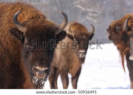 european bisons, bison bonasus in the snow - stock photo