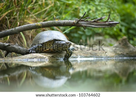 European bog turtle - Emys orbicularis - stock photo