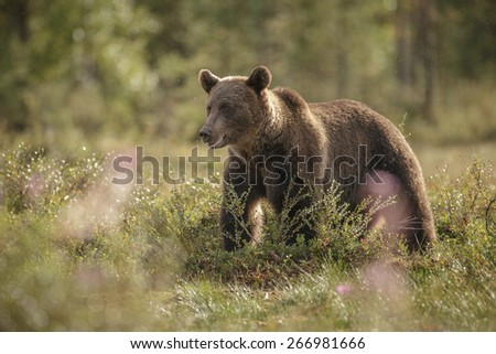 European brown bear in evening back light - stock photo