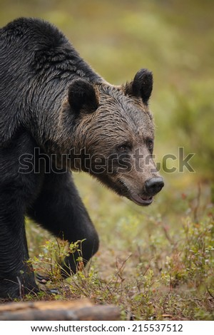 European brown bear in Scandinavian wilderness