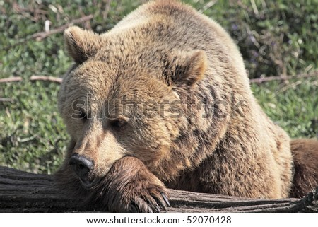 European brown bear resting it's head on a paw, against a tree trunk