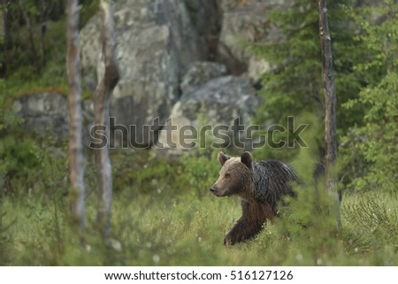 European Brown Bear (Ursus arctos arctos) adult, Finland, June.