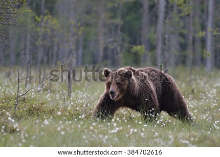 European Brown Bear walking in bog. Finland. Taiga.