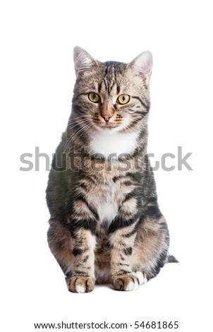 European cat in front on a white background with tongue out - stock photo