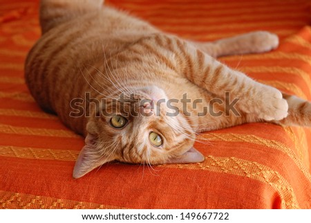 European cat with red fur - stock photo