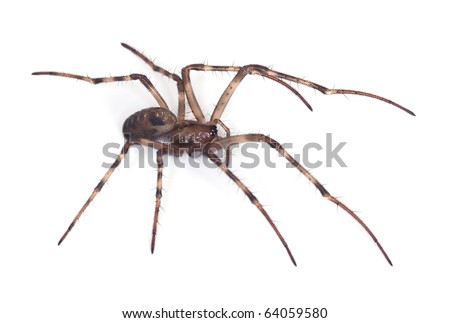 African Spider African Cave Spider For Sale