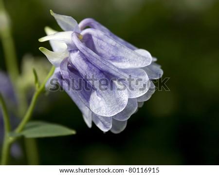 European columbine (Aquilegia vulgaris) - stock photo
