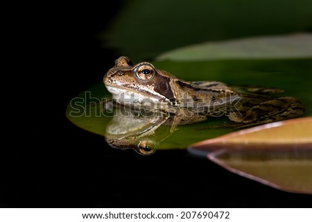 European Common Frog reflected in water/Frog/Common Frog (rana temporaria) - stock photo