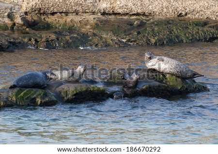 European Common Seal, [Phoca vitulina]