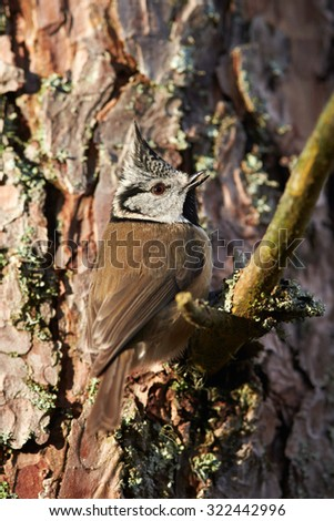 European crested tit (Lophophanes cristatus) on a tree, Cairngorms National Park, Scotland, United Kingdom