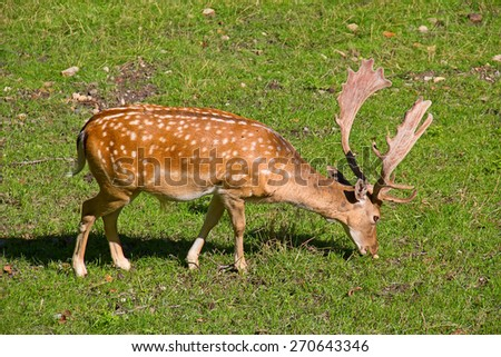 European deer in the park - stock photo