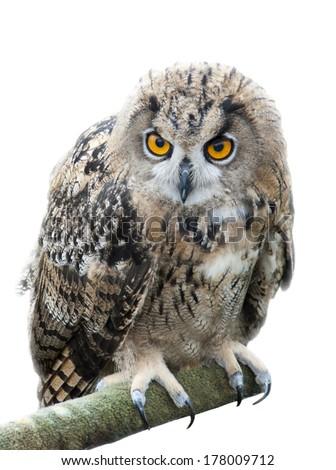 European eagle owl - stock photo