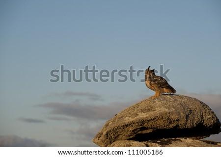 European Eagle Owl (Bubo bubo) perched on a rock, Avila, Spain, Europe - stock photo