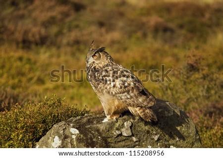 European Eagle Owl in moorland - stock photo