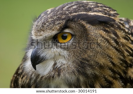 European Eagle Owl with one eye facing toward the camera