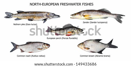 European fishes: pike, zander, perch, roach, bream, isolated on white - stock photo