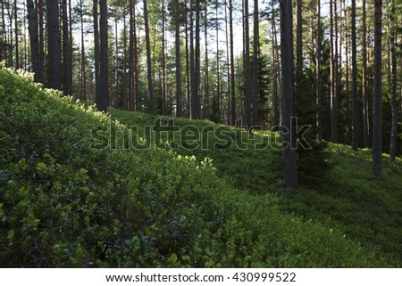 European forest floor covered with bilberry shrubs in evening light