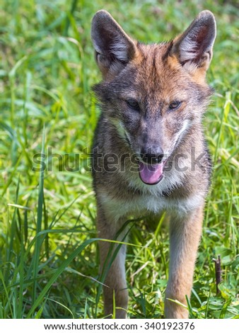 European golden jackal (Canis aureus) puppy in the field