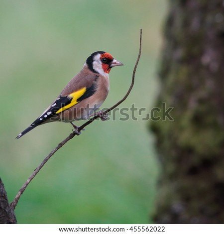 European Goldfinch, also known simply as Goldfinch, perched on a thin branch against the green grass - stock photo