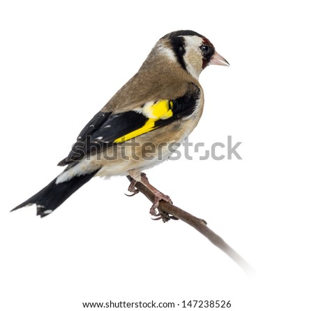 European Goldfinch, carduelis carduelis, perched on a branch, isolated on white