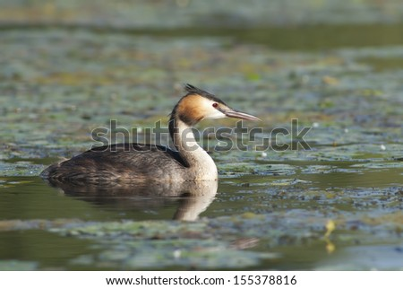 European Great Crested Grebe - stock photo