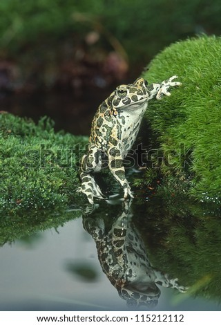 European green toad with reflection - stock photo