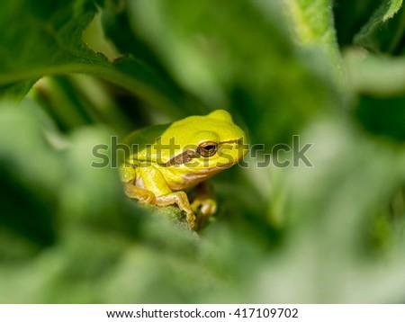 European green tree frog (Hyla arborea formerly Rana arborea)  - stock photo