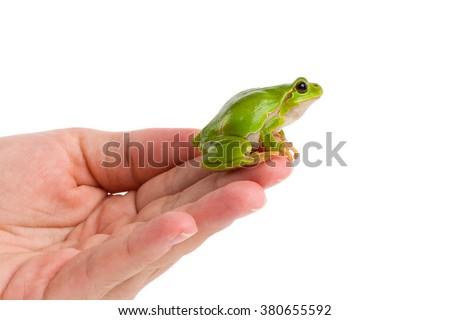European green tree frog (Hyla arborea formerly Rana arborea) sitting on hand, preparing to jump,  isolated on white - stock photo