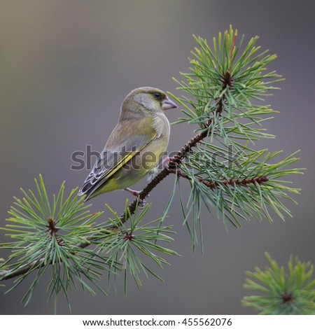 European Greenfinch, also known simply as Greenfinch, perched on a Scots Pine branch - stock photo