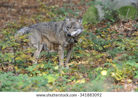 European Grey Wolf observed his surroundings.