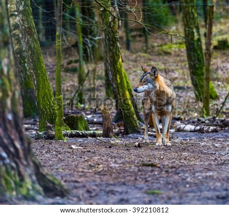 European grey wolves photographed in animal park.