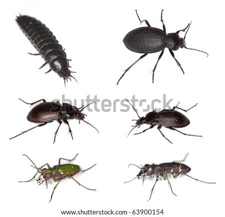 European ground beetles. - stock photo