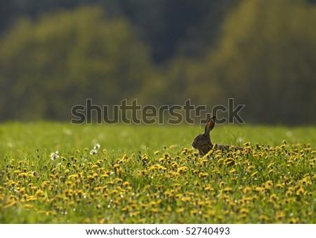 European Hare (Lepus europaeus) - stock photo