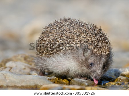 European hedgehog drinking water, with open mouth and pink tongue, clean background, Slovakia, Europe