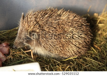 European hedgehog (Erinaceus europaeus) in human care in feeding meat. Too little hedgehog would not survive the winter, so supplemental feeding, and then housed in appropriate conditions.