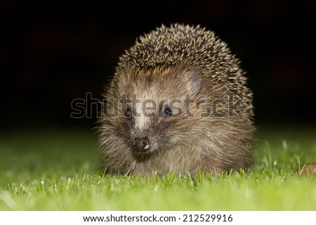 European hedgehog (Erinaceus europaeus) in the evening - Baarn, the Netherlands
