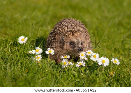 European hedgehog (Erinaceus europaeus) on the meadow with daisy flowers. (Bellis perennis). Selective focus. - stock photo