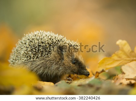 European hedgehog in autumn leaves, with clean background, Czech Republic, Europe - stock photo