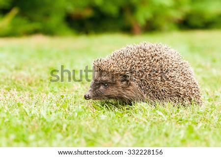 European hedgehog in garden