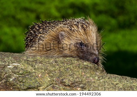 European Hedgehog on large log against a blurred foliage background/Hedgehog/European Hedgehog (erinaceus europaeus) - stock photo