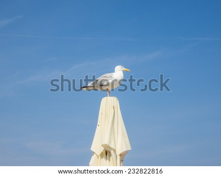 European herring gull (Larus argentatus) is a large gull, one of the best known of all gulls along the shores of Europe. - stock photo