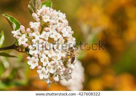 European honey bee( Apis mellifera) on a viburnum flowers - stock photo