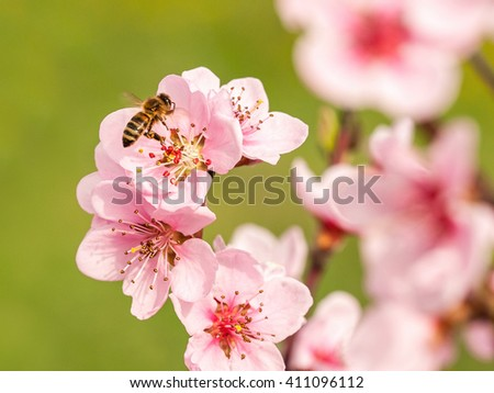 European honey bee on a peach tree flower - stock photo