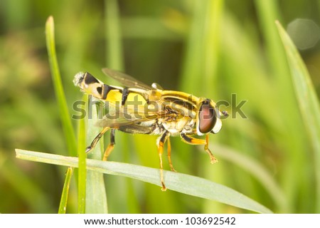 European hoverfly resting on grass /  Helophilus trivittatus - stock photo