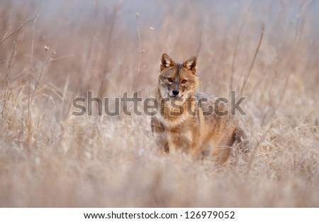 European jackal - stock photo