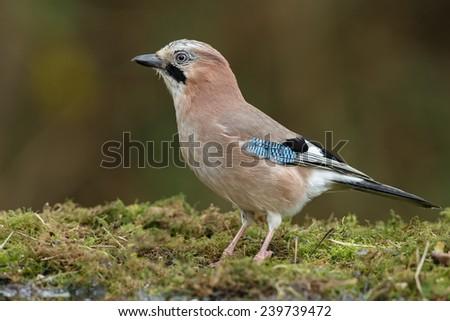 European Jay bird  - stock photo