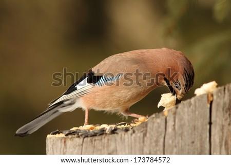 european jay ( garrulus glandarius ) eats bread up on a stump - stock photo